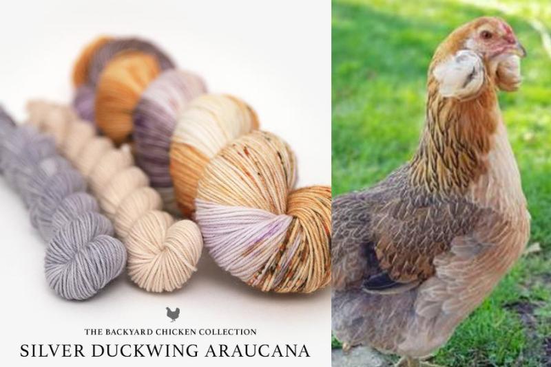 Silver_Duckwing_Araucana_Hen